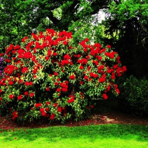 bright red rhododendron bush at Sheffield Park