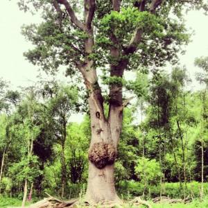 huge 300-year-old oak tree