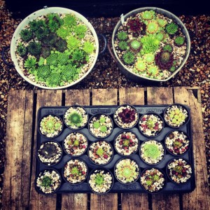 various sempervivums potted together or as singles