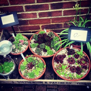 sempervivums potted at woodruffs yard