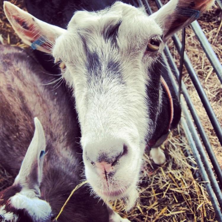 a-goat
