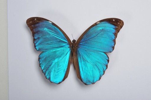 Booth-Museum-Blue-butterfly