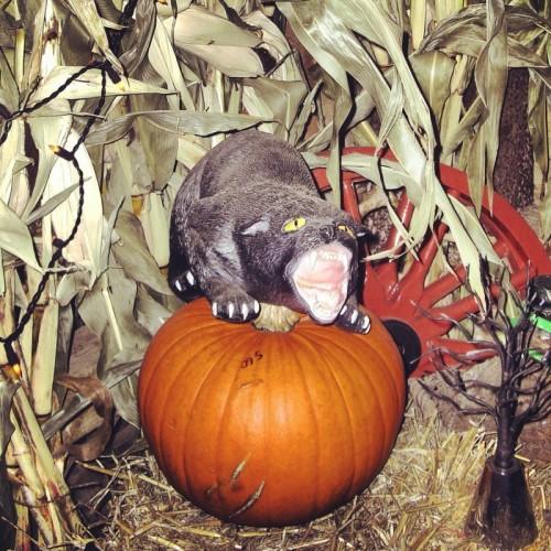 cat-on-pumpkin
