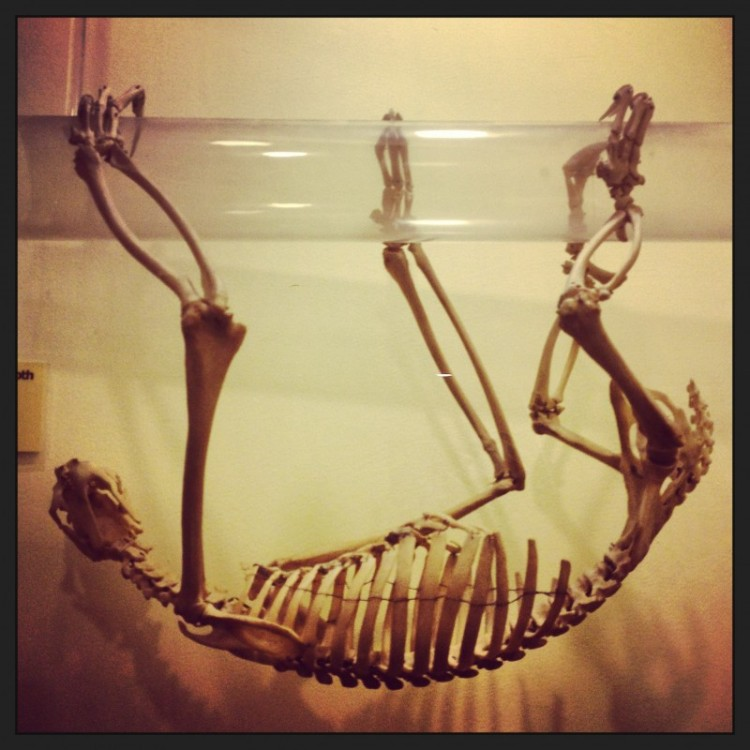 sloth-skeleton